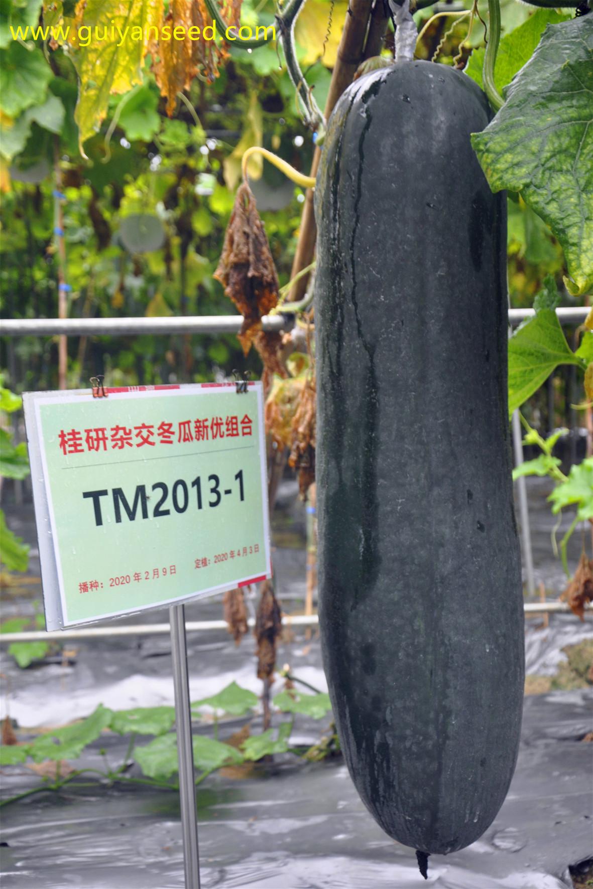 TM2013-1杂交冬瓜的田间表现