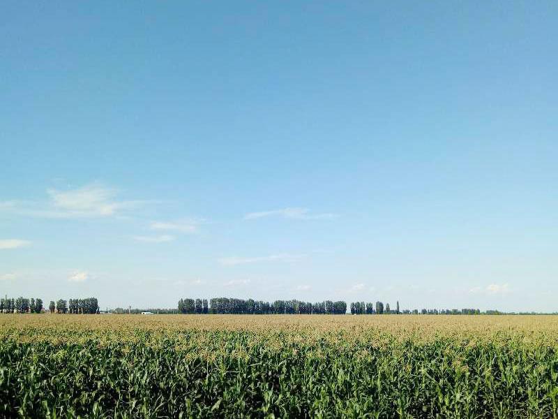 爆裂玉米大规模种植基