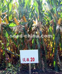 浚单20玉米