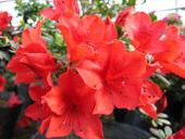 出售各种杜鹃花盆景