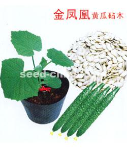 金凤凰黄瓜砧木