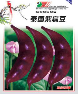 紫扁豆--扁豆