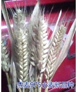 杰麦975小麦新品种