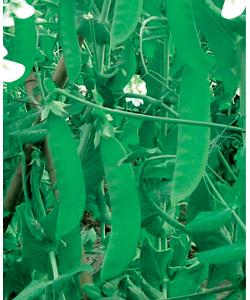 非洲大荚荷兰豆调