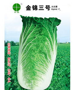 金锦三号大白菜