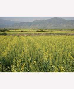 供应高产杂交油菜种子
