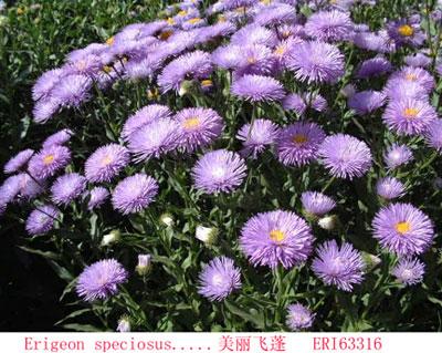 美丽飞蓬_种子网-天鸿种子网产品中心-最新最全的种子