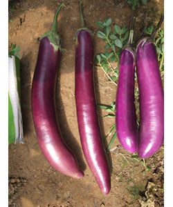 紫红茄子和红茄.