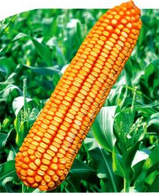 郑单958玉米种