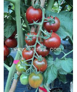 紫番茄1号