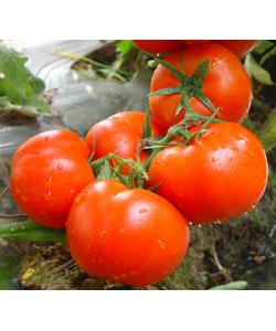 0488番茄