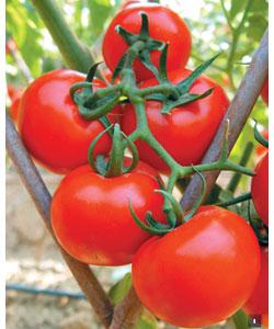 番茄0626