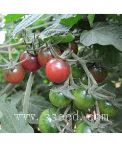 紫西红柿2号