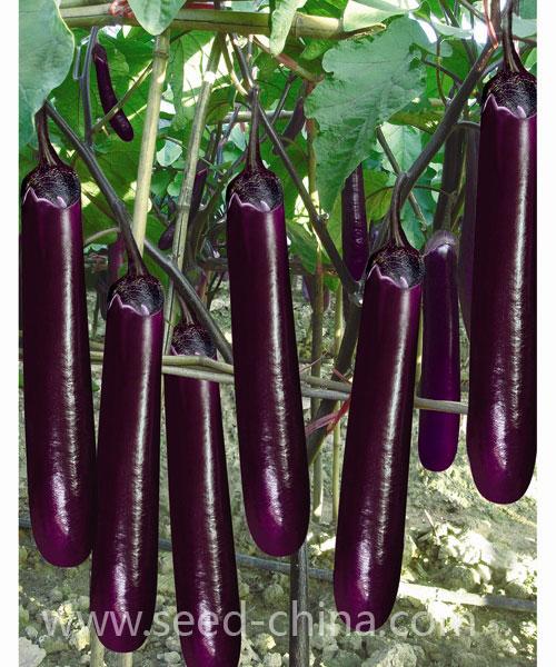 高山茄子(Gaoshan eggplant)