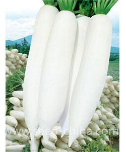 韩国白雪春萝卜(Korean Baixuechun Radish)