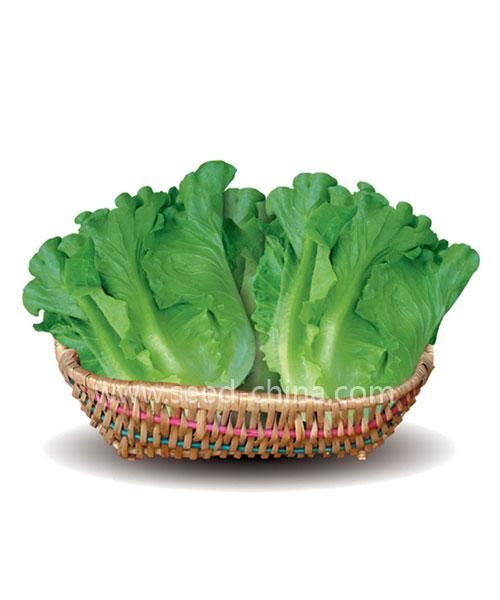 意大利生菜(Italy Lettuce)