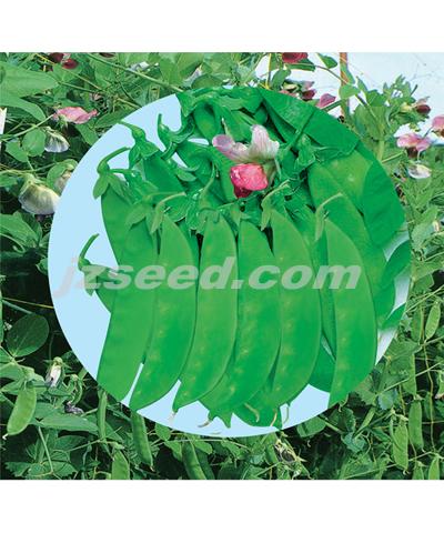 红花荷兰豆