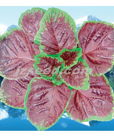 楚园大红苋菜