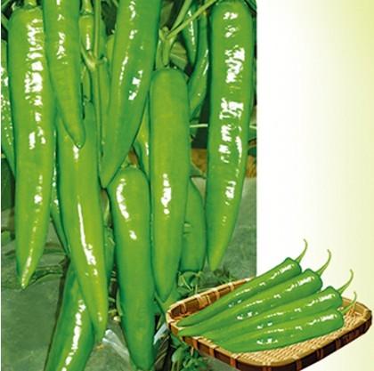辣椒种子-黄绿剑208