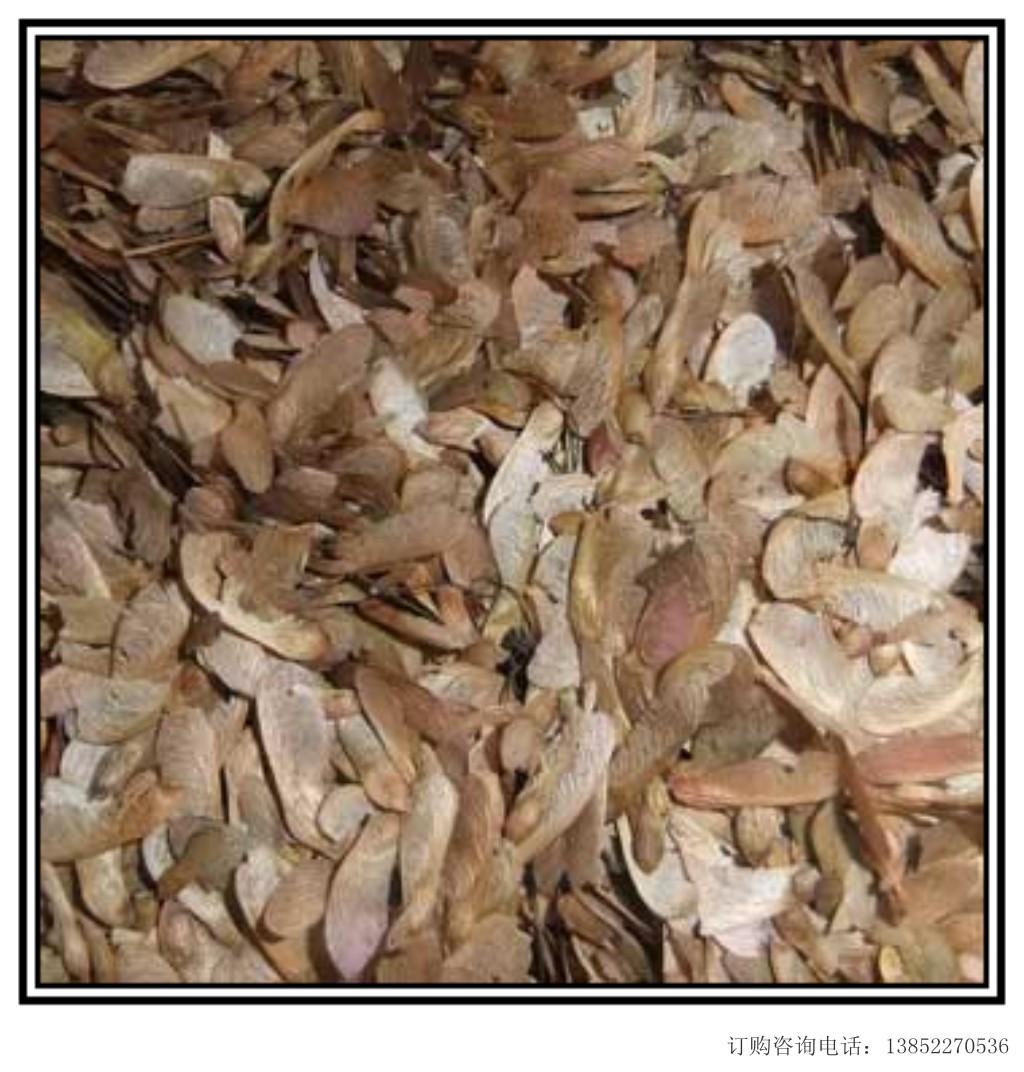 热销种子;小叶檀香种子,美国红枫种子,澳洲火焰木种子等