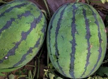 供应保护地专用极早熟西瓜  花皮椭圆形西瓜种子-春纪1号