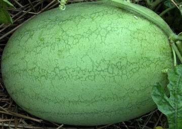 早熟西瓜 保护地西瓜 绿皮西瓜种子 西瓜种子-春纪2号西瓜