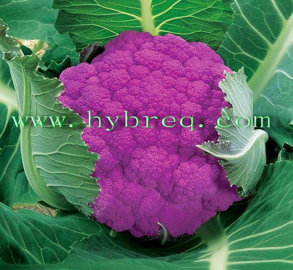 Red heart 70 cauliflower seed