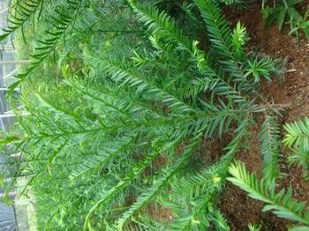 货到付款;金花茶种子,红豆杉种子,美国红枫种子等