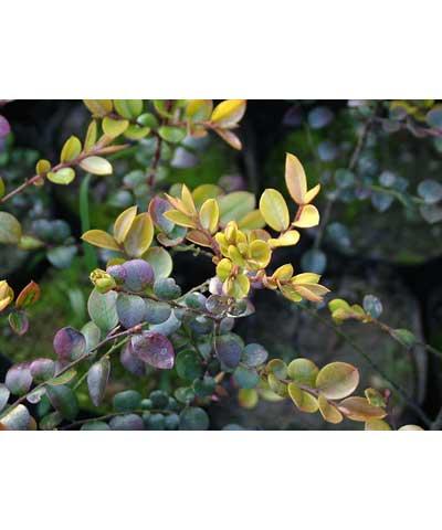 黄栌种子,蜡瓣花种子