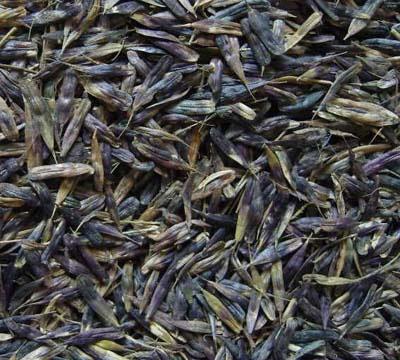 供应板蓝根种子,板蓝根,白芷,桔梗