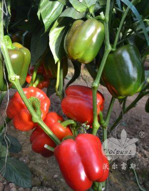 越夏、秋延、早春大棚红甜椒品种-红妃F1