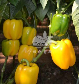 越夏、秋延、早春大棚黄甜椒品种-黄妃F1