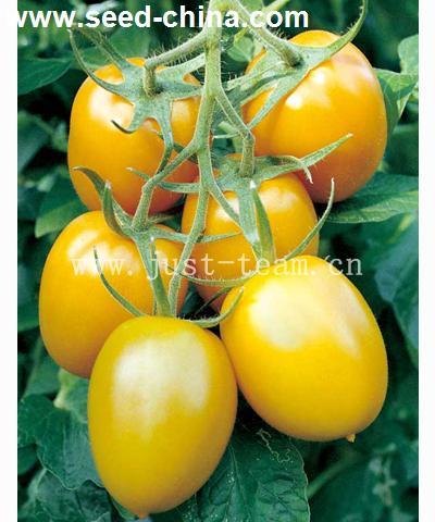 欧罗马--蕃茄