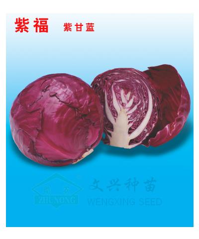 紫福 紫甘蓝种子【荐】