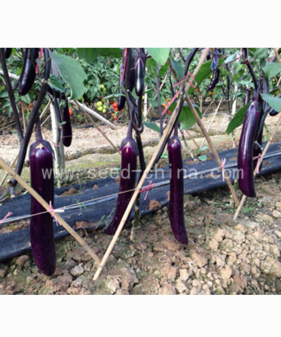 天龙8号紫红长茄F1(Tianlong No.8 Eggplant)