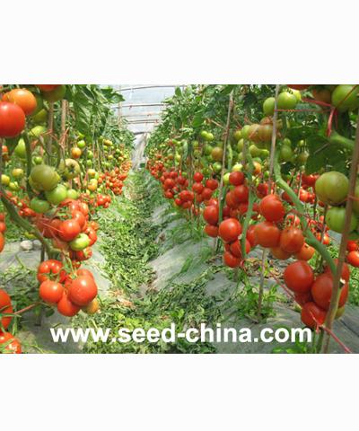 金钻宝玛(Jinzuanbaoma Tomato)