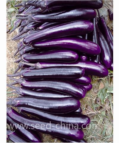 公牛长茄(Gongniu eggplant)