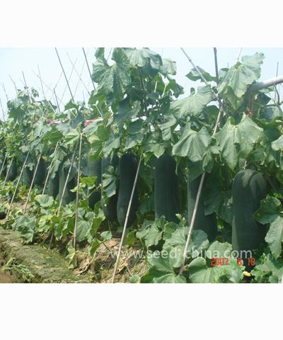 广东特选黑皮冬瓜(Guangdong black wax gourd)