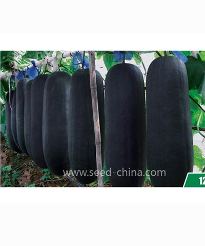 杂交黑将军黑皮冬瓜Heijiangjun Black Wax gourd (Hybrid)