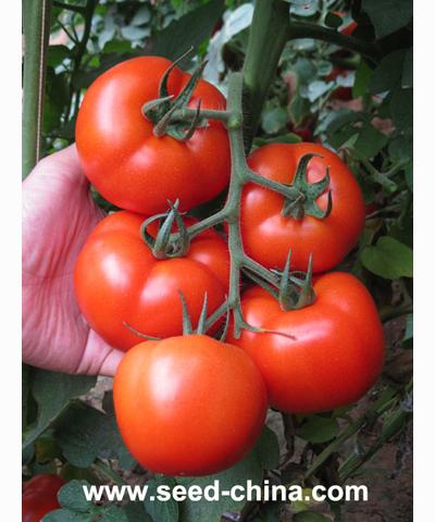 大圣800番茄(Dasheng No.800 tomato)