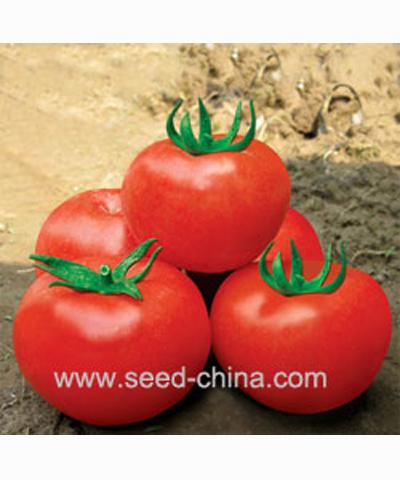 漓红十三号番茄