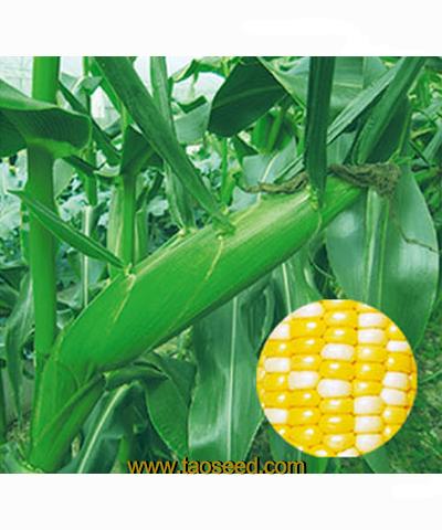 双喜D-158  甜玉米