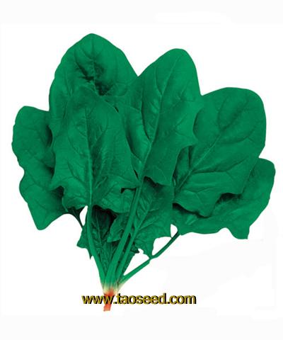 绿帝6203 菠菜