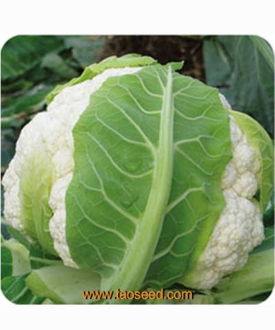 圣雪60花椰菜