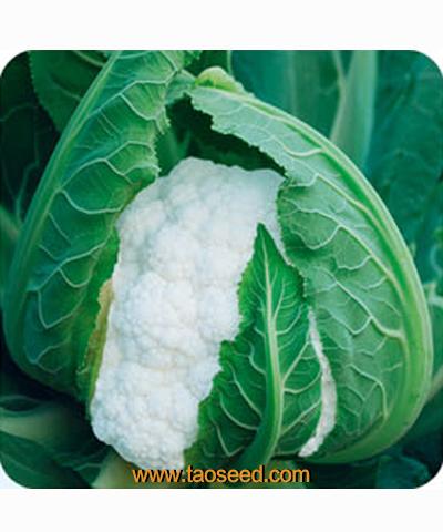 圣雪80花椰菜