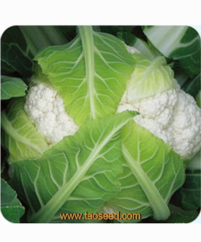圣雪65花椰菜
