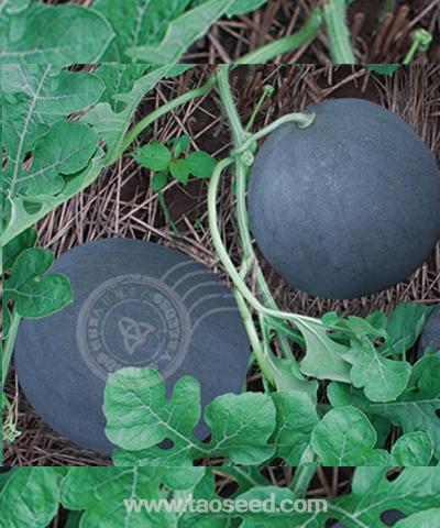 黑珍珠(无籽)