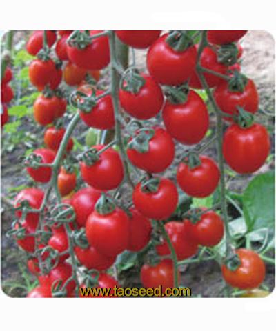 长发3155番茄