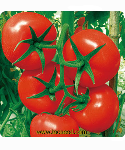JQ-158番茄