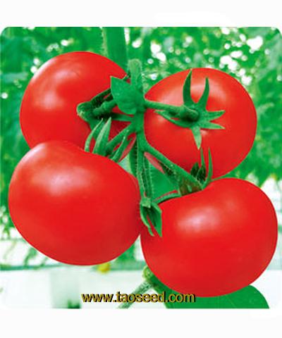 JQ-168番茄